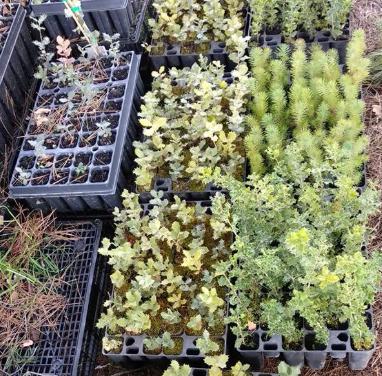Osmon plantada 2 febrer 2