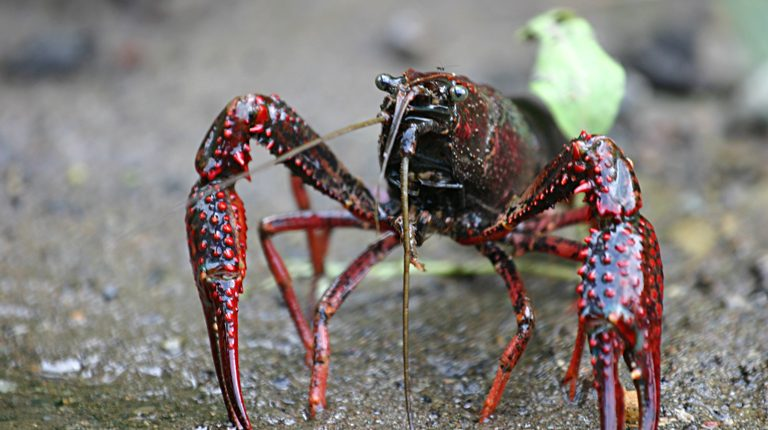 cranc de riu americà (Procambarus clarkii)