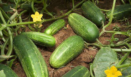 cucumber Stephen Ausmus