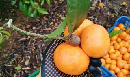 espigolada mandarines gener 2