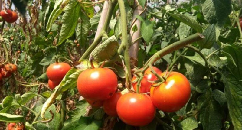 espigolada tomaquets