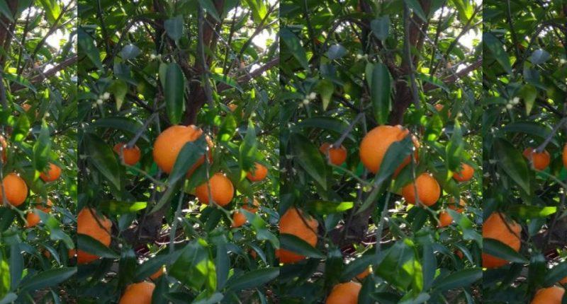 Espigolada de mandarines