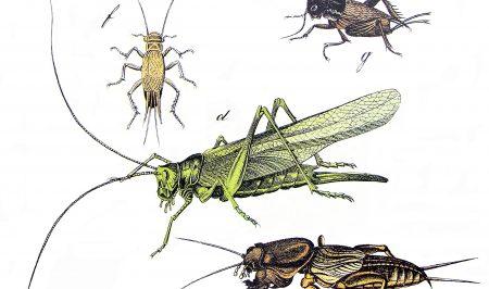 Sortida per veure grills i altres insectes