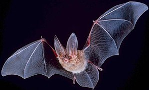 ratpenat 300px-Big-eared-townsend-fledermaus