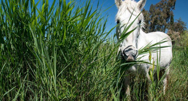 cavall de Camarga a la Reserva Natural de Sebes