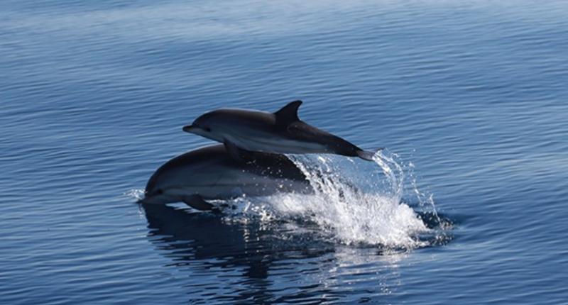 cetacea dofins
