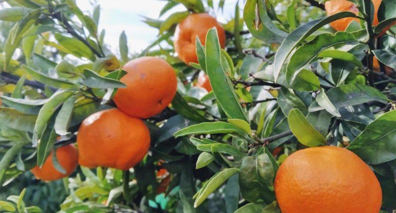 espigoladors mandarines