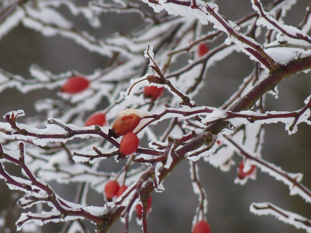 nypon snö