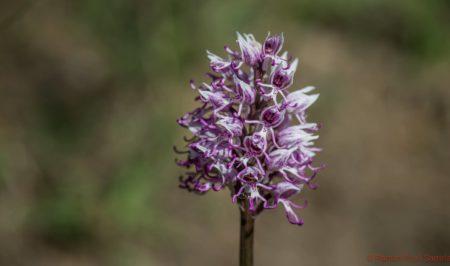 Orquidia Orchis simia