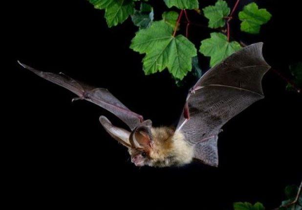 ratpenats nit